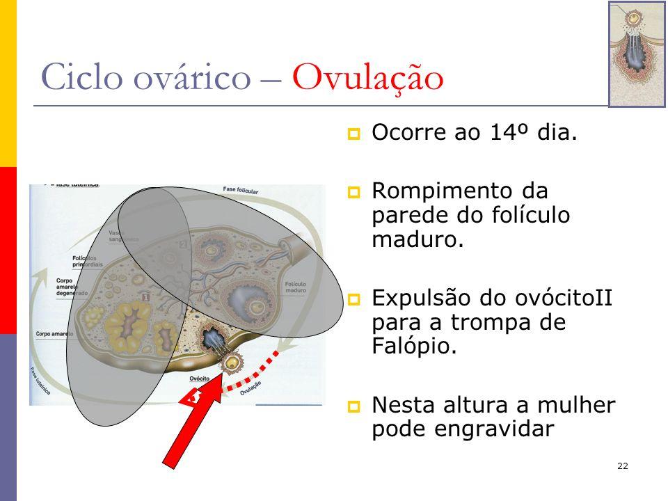 22 Ciclo ovárico – Ovulação Ocorre ao 14º dia. Rompimento da parede do folículo maduro. Expulsão do ovócitoII para a trompa de Falópio. Nesta altura a