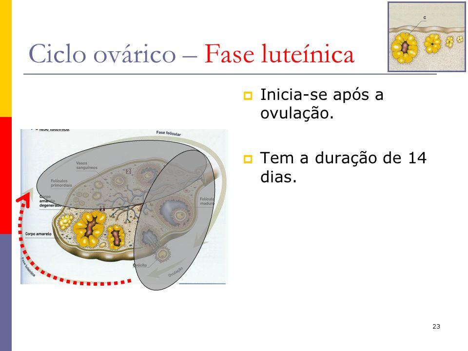 23 Ciclo ovárico – Fase luteínica Inicia-se após a ovulação. Tem a duração de 14 dias.