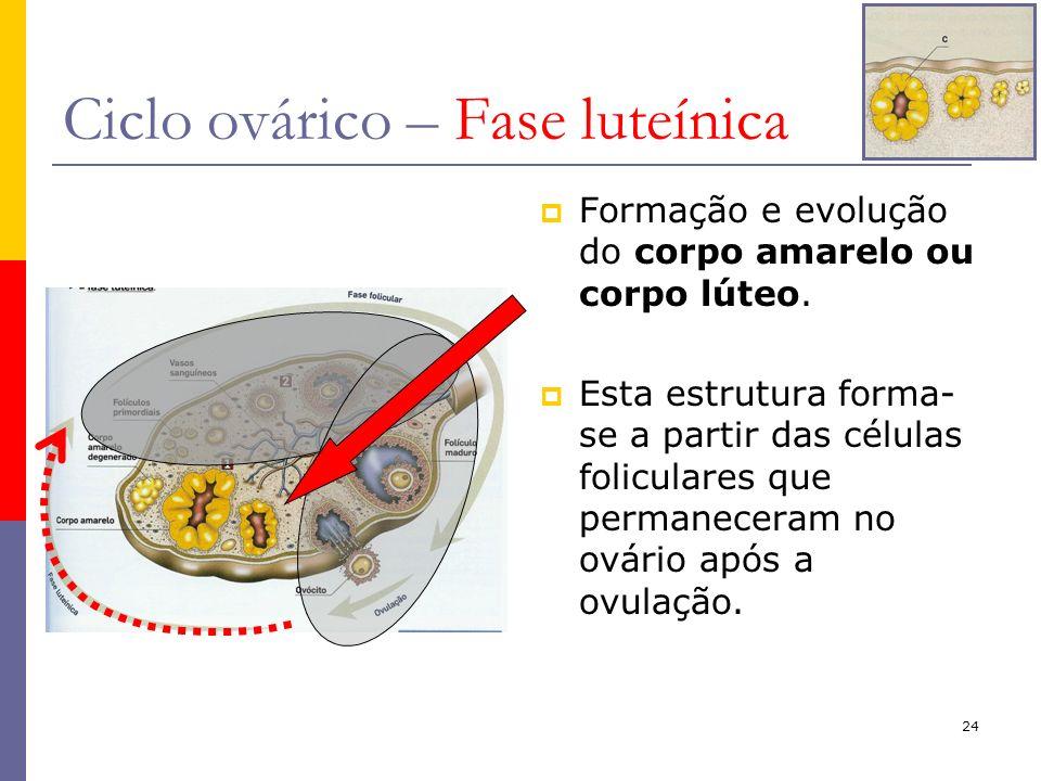 24 Ciclo ovárico – Fase luteínica Formação e evolução do corpo amarelo ou corpo lúteo. Esta estrutura forma- se a partir das células foliculares que p