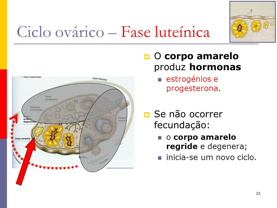 25 Ciclo ovárico – Fase luteínica O corpo amarelo produz hormonas estrogénios e progesterona. Se não ocorrer fecundação: o corpo amarelo regride e deg