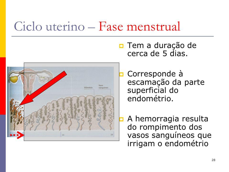 28 Ciclo uterino – Fase menstrual Tem a duração de cerca de 5 dias. Corresponde à escamação da parte superficial do endométrio. A hemorragia resulta d