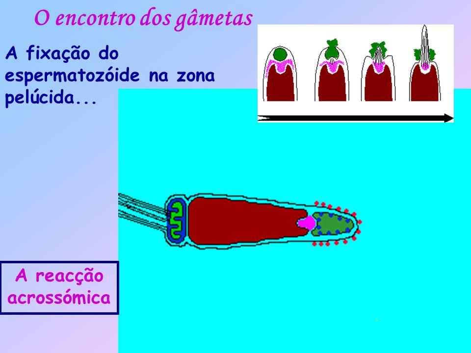 O encontro dos gâmetas A fixação do espermatozóide na zona pelúcida... A reacção acrossómica
