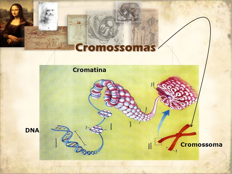 Cromossomas DNA Cromossoma Cromatina