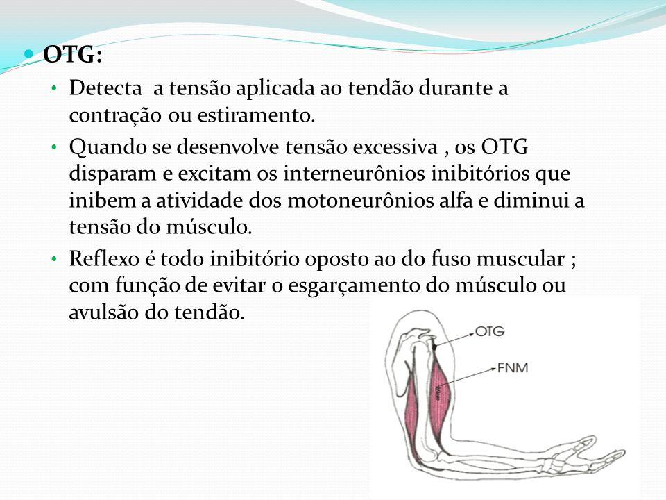 OTG: Detecta a tensão aplicada ao tendão durante a contração ou estiramento. Quando se desenvolve tensão excessiva, os OTG disparam e excitam os inter