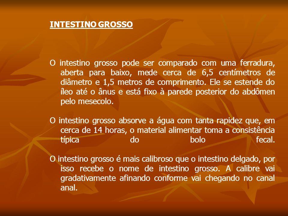 INTESTINO GROSSO O intestino grosso pode ser comparado com uma ferradura, aberta para baixo, mede cerca de 6,5 centímetros de diâmetro e 1,5 metros de comprimento.