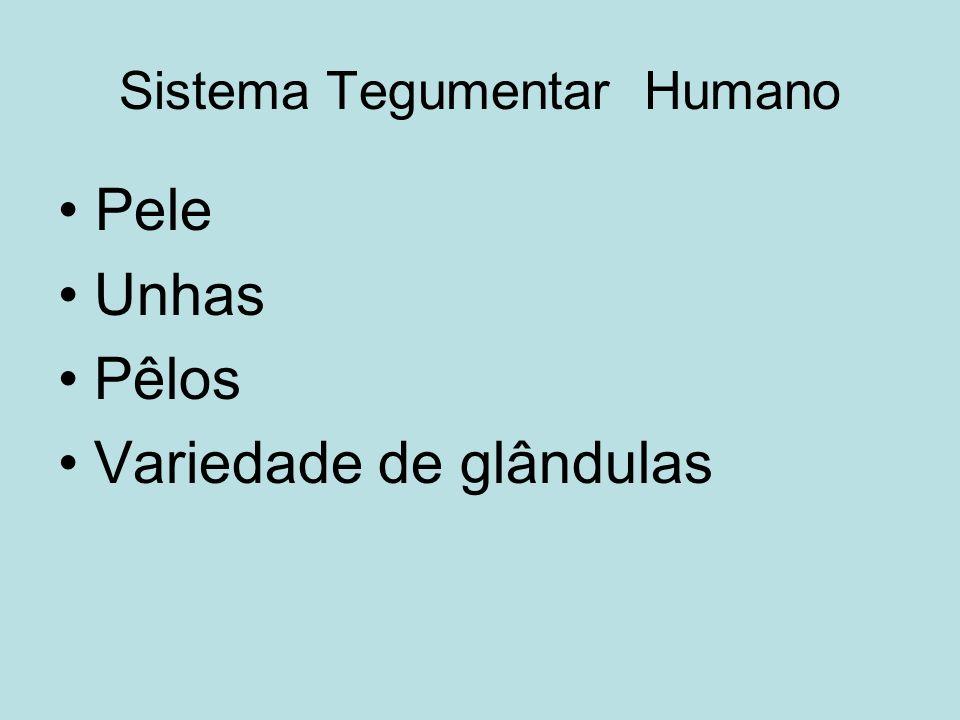 Sistema Tegumentar Humano Pele Unhas Pêlos Variedade de glândulas