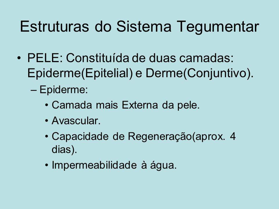 Estruturas do Sistema Tegumentar PELE: Constituída de duas camadas: Epiderme(Epitelial) e Derme(Conjuntivo). –Epiderme: Camada mais Externa da pele. A