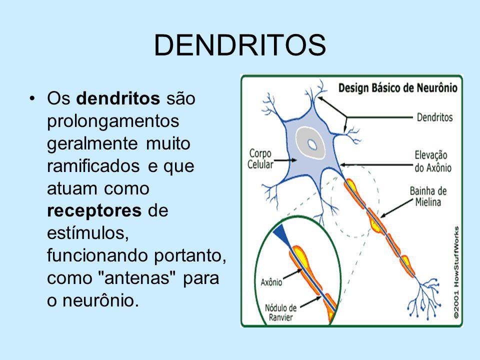 DENDRITOS Os dendritos são prolongamentos geralmente muito ramificados e que atuam como receptores de estímulos, funcionando portanto, como
