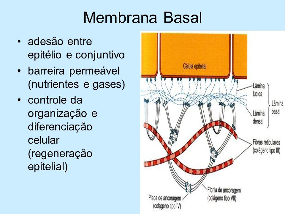 Membrana Basal adesão entre epitélio e conjuntivo barreira permeável (nutrientes e gases) controle da organização e diferenciação celular (regeneração