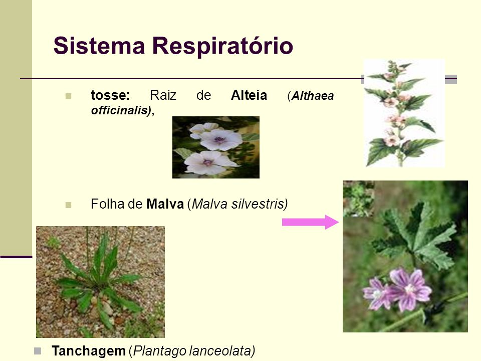 Sistema Respiratório tosse: Raiz de Alteia (Althaea officinalis), Folha de Malva (Malva silvestris) ) Tanchagem (Plantago lanceolata)
