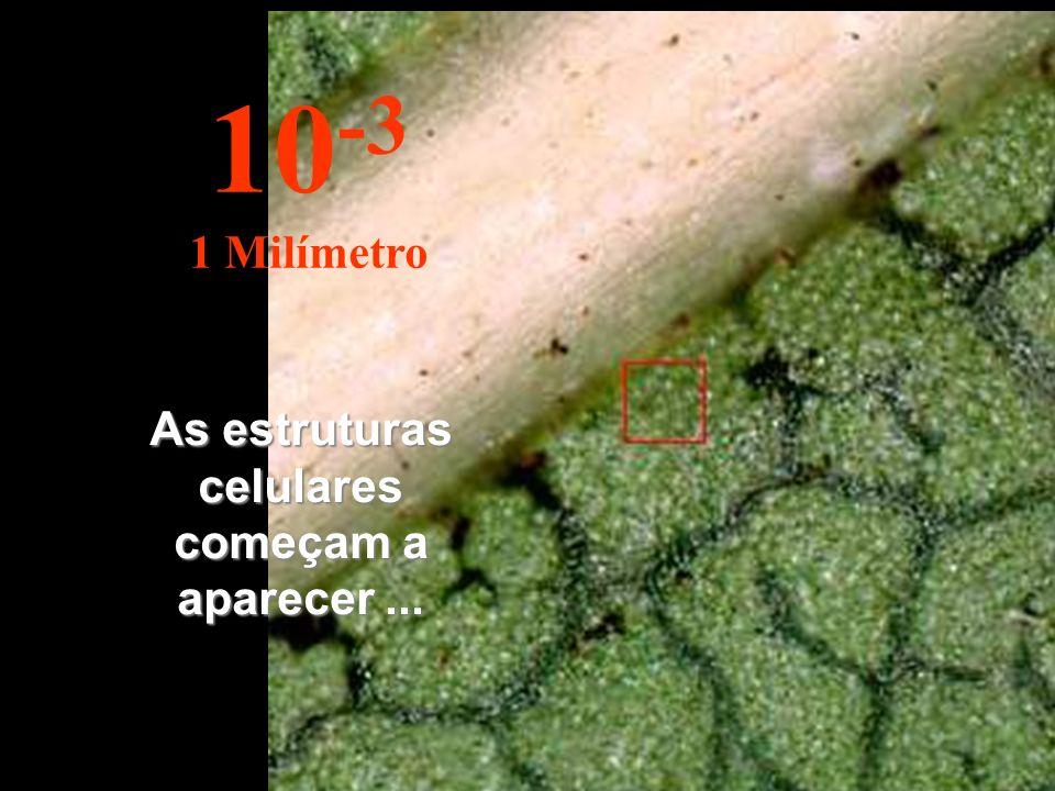 As estruturas celulares começam a aparecer... 10 -3 1 Milímetro