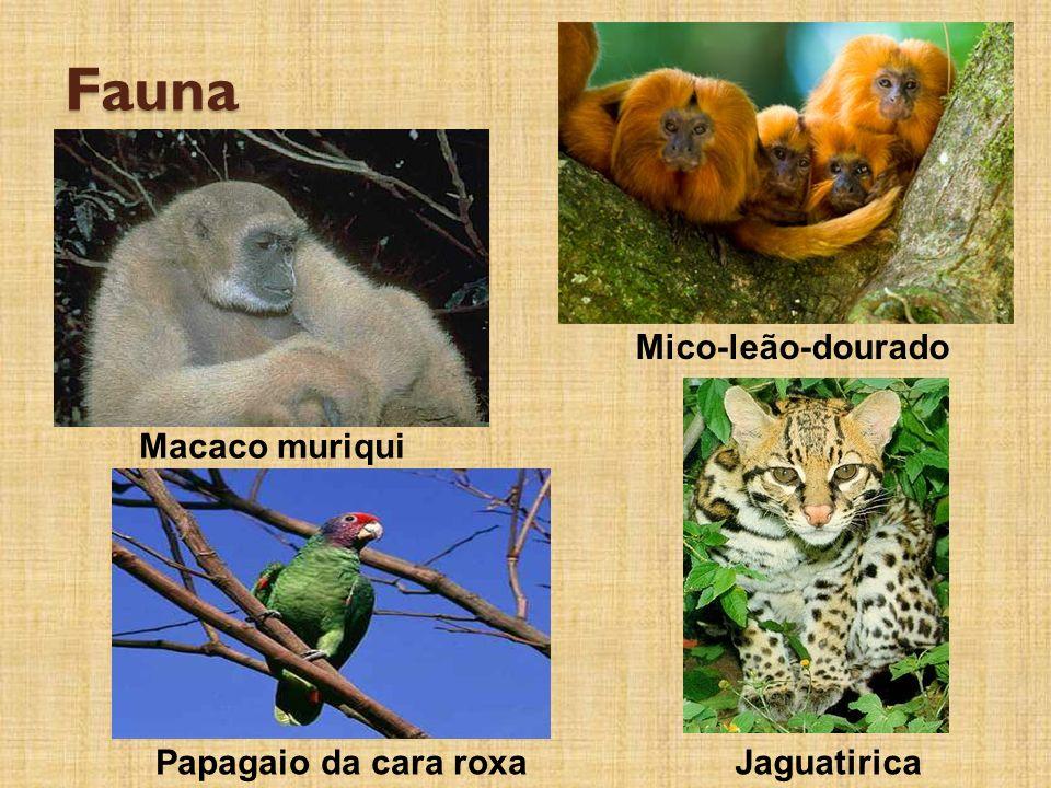 Fauna Macaco muriqui Mico-leão-dourado JaguatiricaPapagaio da cara roxa