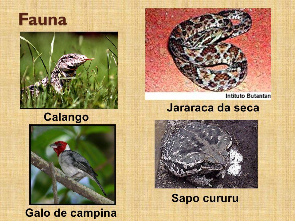 Fauna Jararaca da seca Galo de campina Calango Sapo cururu