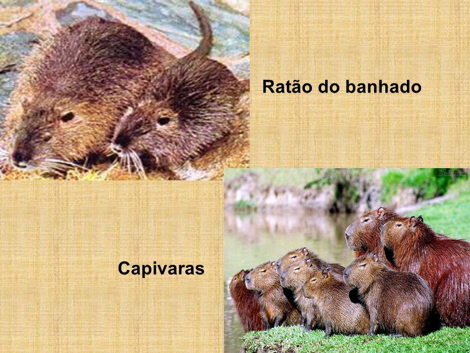 Ratão do banhado Capivaras