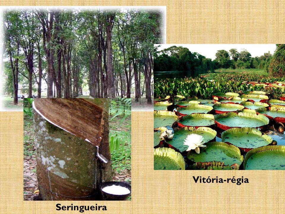 Seringueira Vitória-régia