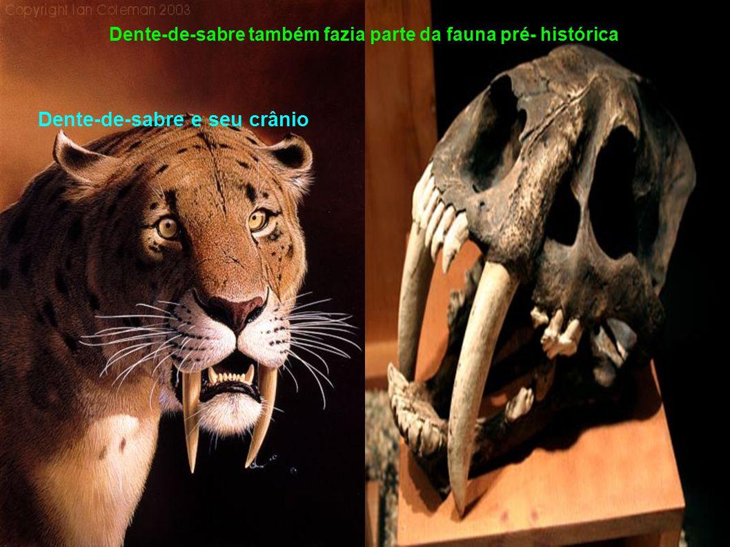 Dente-de-sabre também fazia parte da fauna pré- histórica Dente-de-sabre e seu crânio