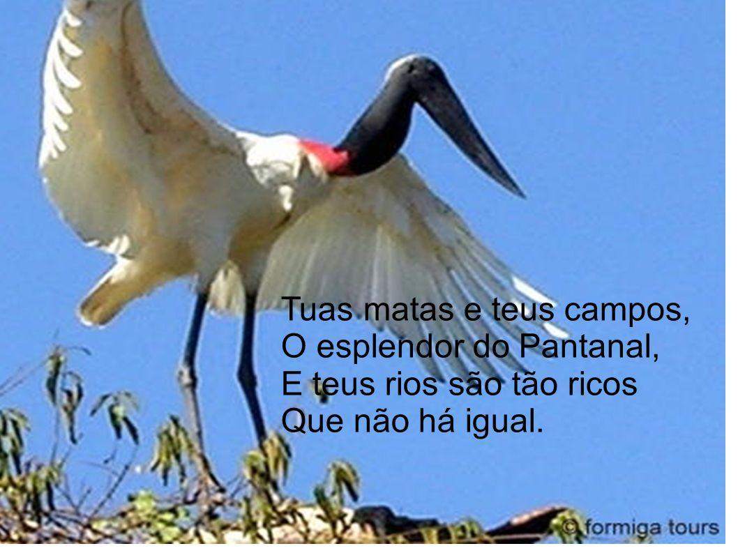 Tuas matas e teus campos, O esplendor do Pantanal, E teus rios são tão ricos Que não há igual.