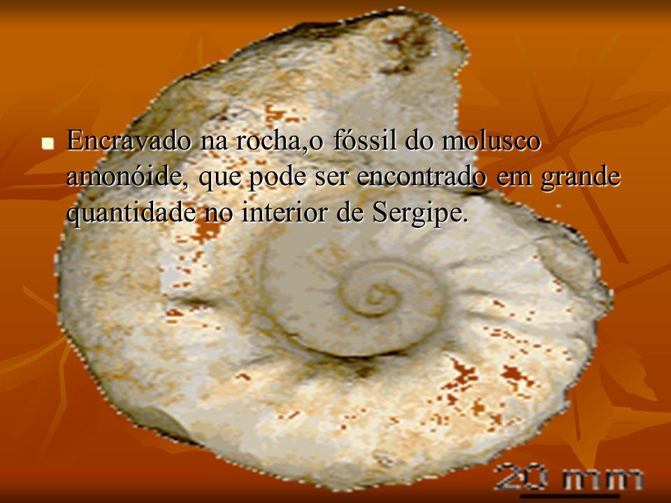Encravado na rocha,o fóssil do molusco amonóide, que pode ser encontrado em grande quantidade no interior de Sergipe. Encravado na rocha,o fóssil do m