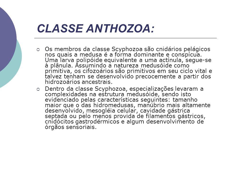CLASSE ANTHOZOA: Os membros da classe Scyphozoa são cnidários pelágicos nos quais a medusa é a forma dominante e conspícua. Uma larva polipóide equiva