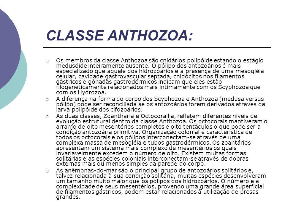Os membros da classe Anthozoa são cnidários polipóide estando o estágio medusóide inteiramente ausente. O pólipo dos antozoários é mais especializado