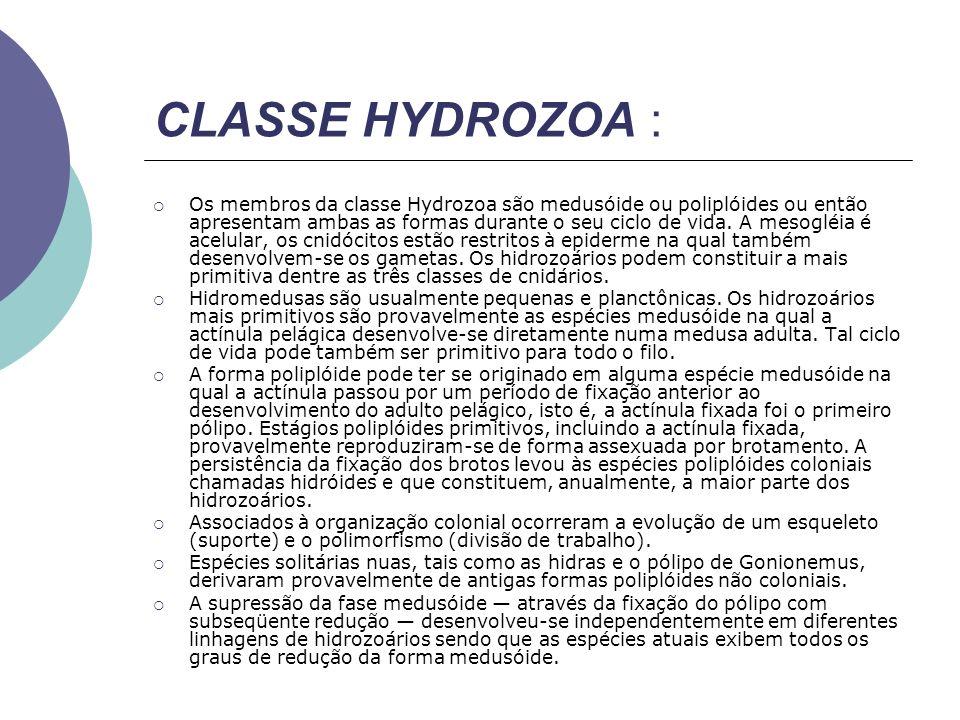 CLASSE HYDROZOA : Os membros da classe Hydrozoa são medusóide ou poliplóides ou então apresentam ambas as formas durante o seu ciclo de vida. A mesogl