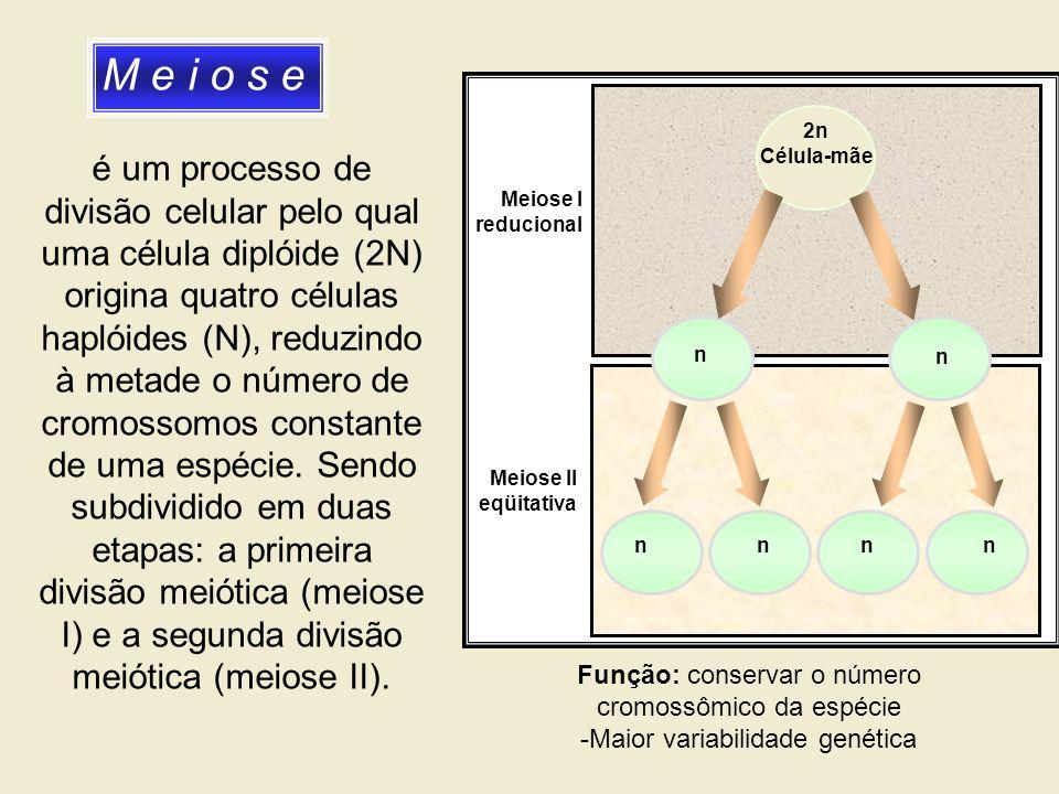 M e i o s e 2n Célula-mãe n n n nnn Meiose I reducional Meiose II eqüitativa é um processo de divisão celular pelo qual uma célula diplóide (2N) origi