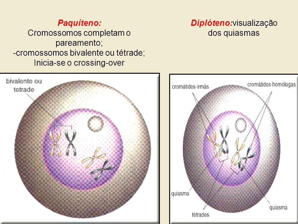 Paquíteno: Cromossomos completam o pareamento; -cromossomos bivalente ou tétrade; Inicia-se o crossing-over Diplóteno:visualização dos quiasmas