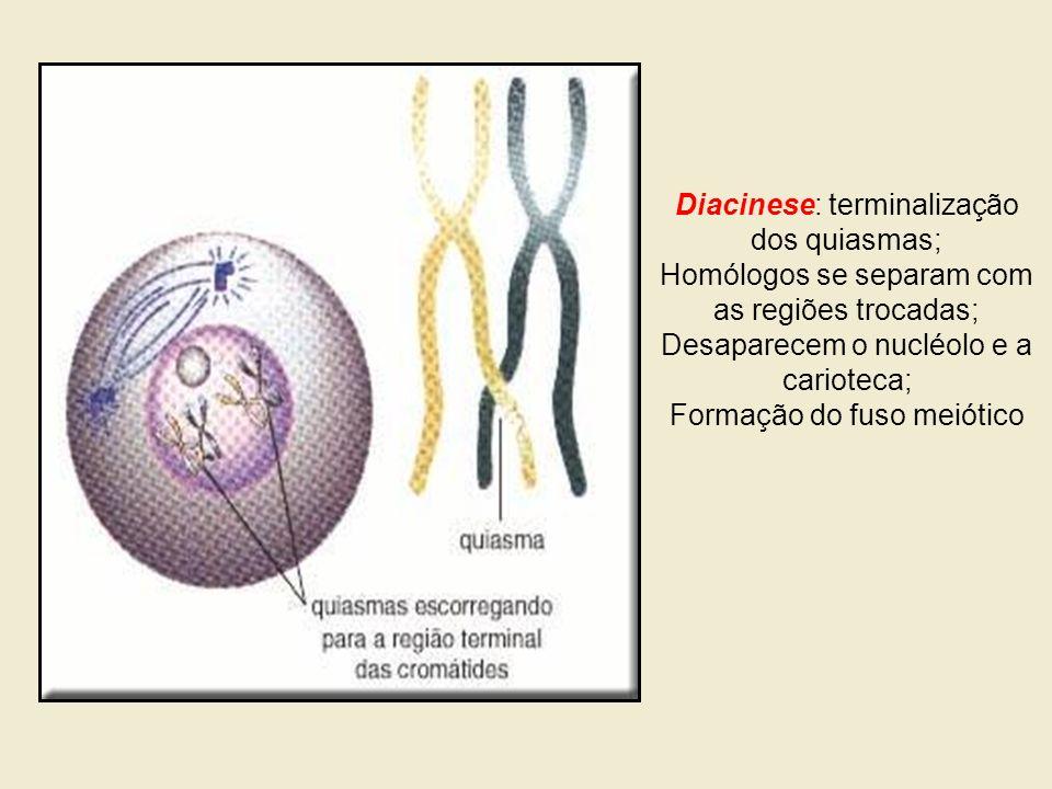 Diacinese: terminalização dos quiasmas; Homólogos se separam com as regiões trocadas; Desaparecem o nucléolo e a carioteca; Formação do fuso meiótico