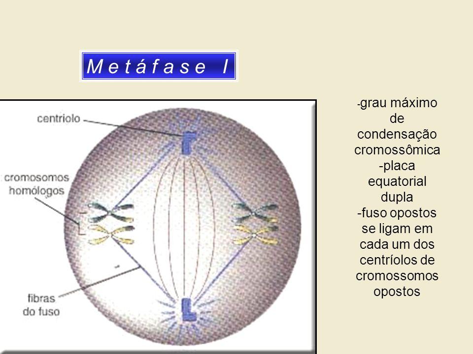 M e t á f a s e I - grau máximo de condensação cromossômica -placa equatorial dupla -fuso opostos se ligam em cada um dos centríolos de cromossomos op