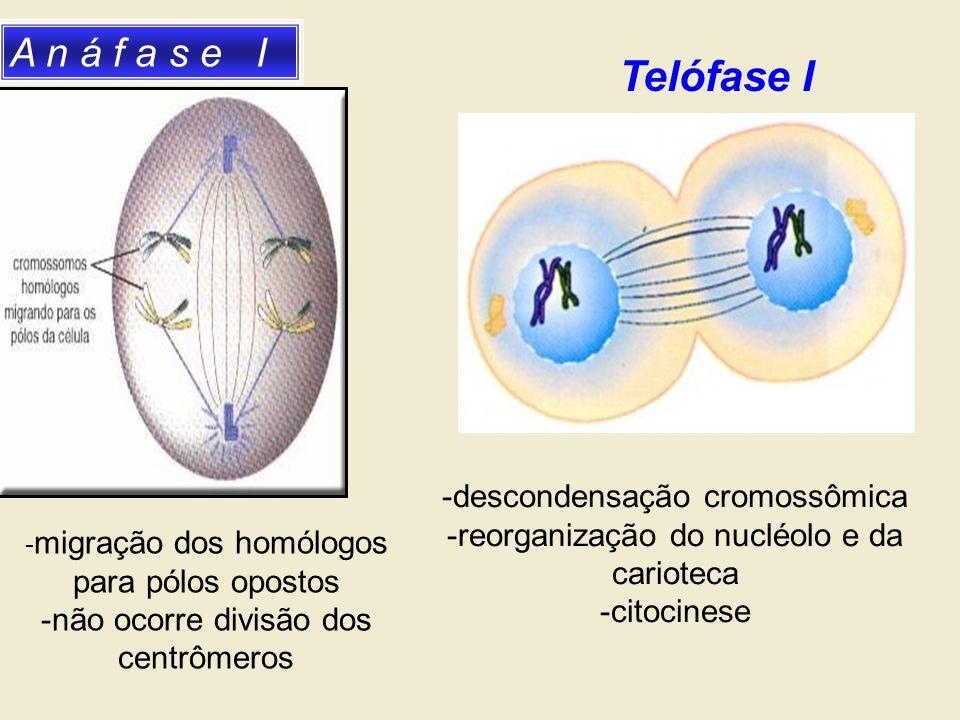 A n á f a s e I - migração dos homólogos para pólos opostos -não ocorre divisão dos centrômeros -descondensação cromossômica -reorganização do nucléol