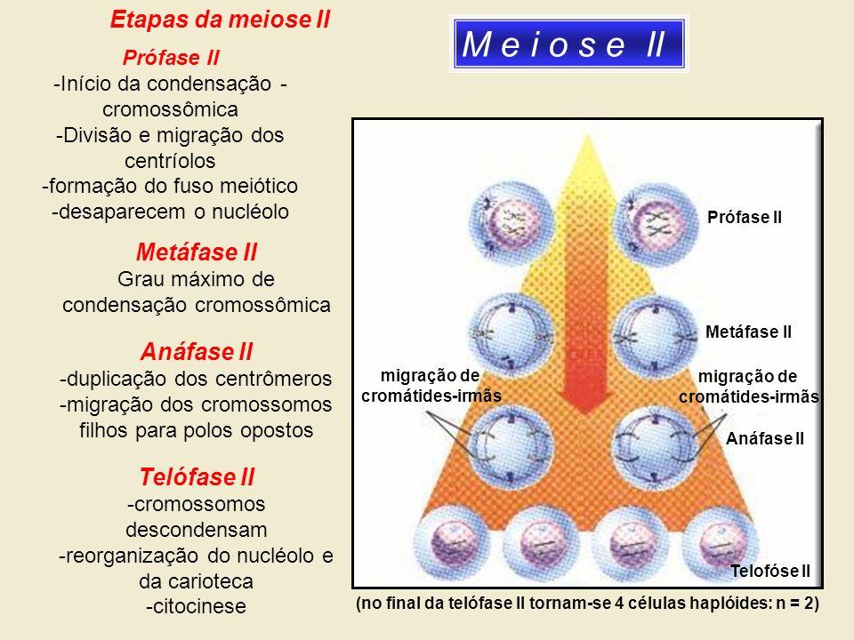 M e i o s e II Prófase II Metáfase II migração de cromátides-irmãs Anáfase II migração de cromátides-irmãs (no final da telófase II tornam-se 4 célula