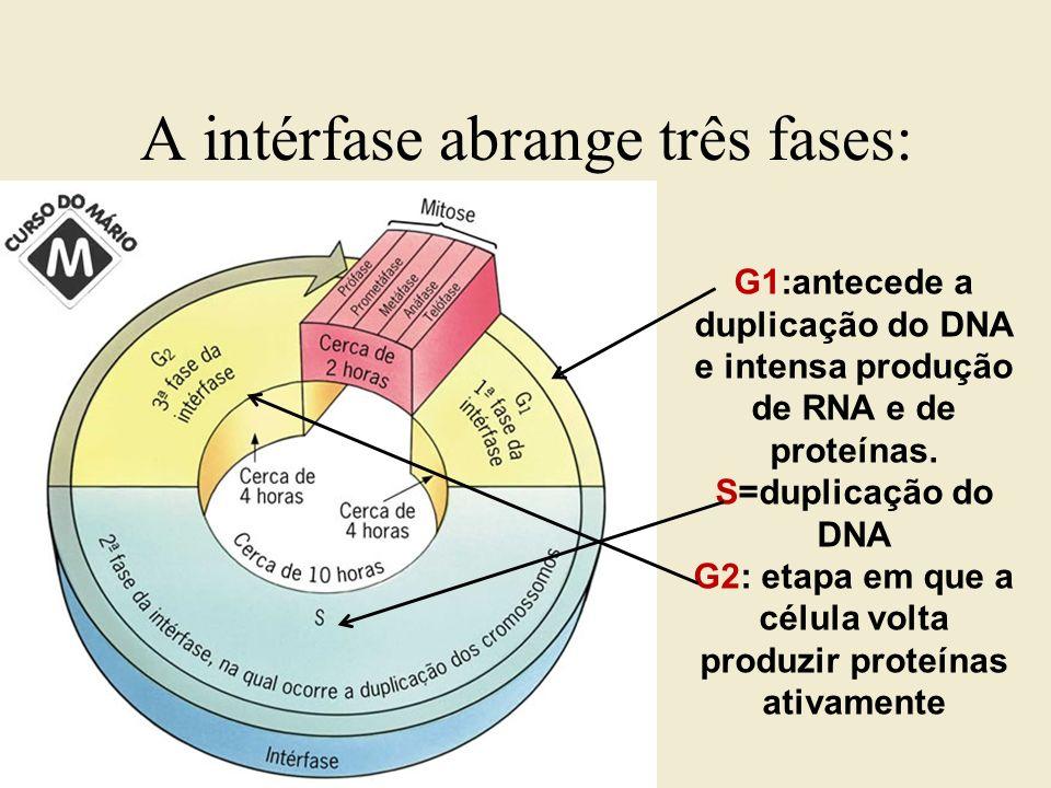 A intérfase abrange três fases: G1:antecede a duplicação do DNA e intensa produção de RNA e de proteínas. S=duplicação do DNA G2: etapa em que a célul