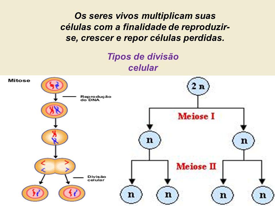 Os seres vivos multiplicam suas células com a finalidade de reproduzir- se, crescer e repor células perdidas. Tipos de divisão celular