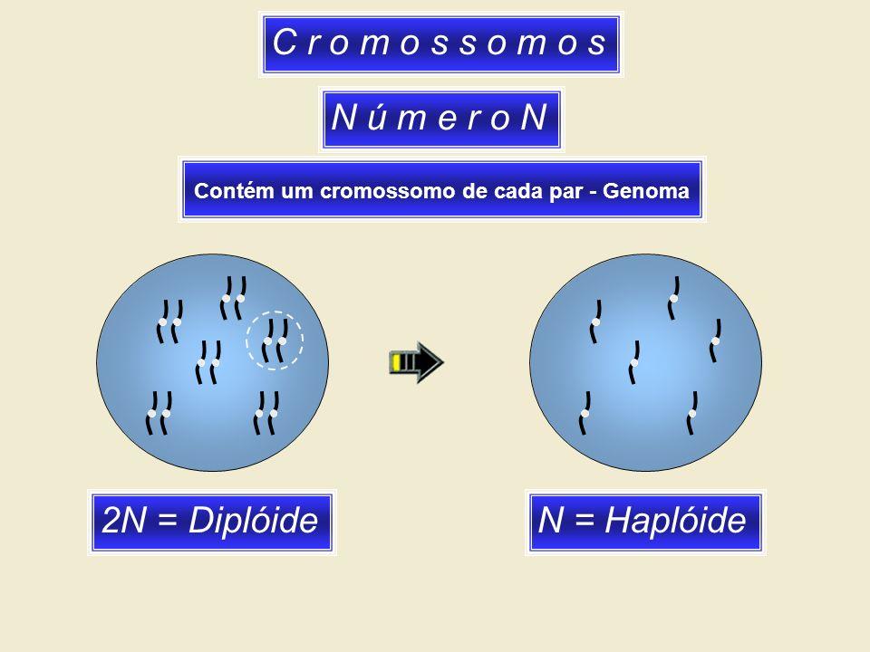 C r o m o s s o m o s N ú m e r o N Contém um cromossomo de cada par - Genoma 2N = DiplóideN = Haplóide