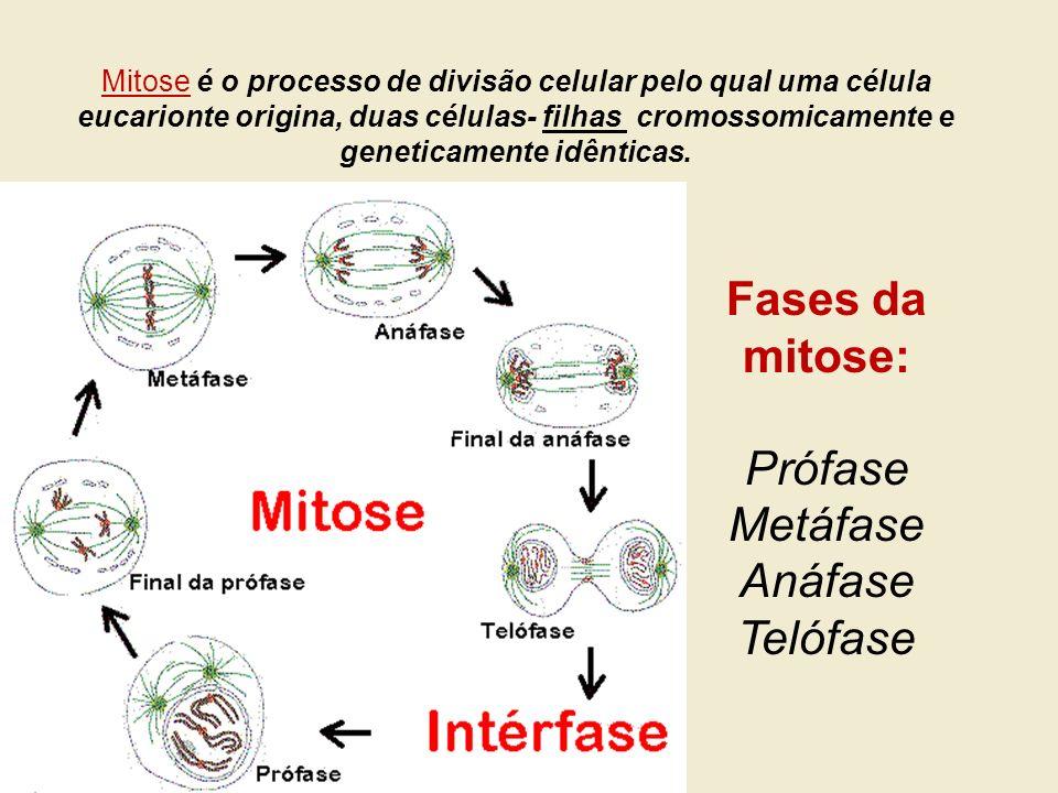 Mitose é o processo de divisão celular pelo qual uma célula eucarionte origina, duas células- filhas cromossomicamente e geneticamente idênticas. Fase