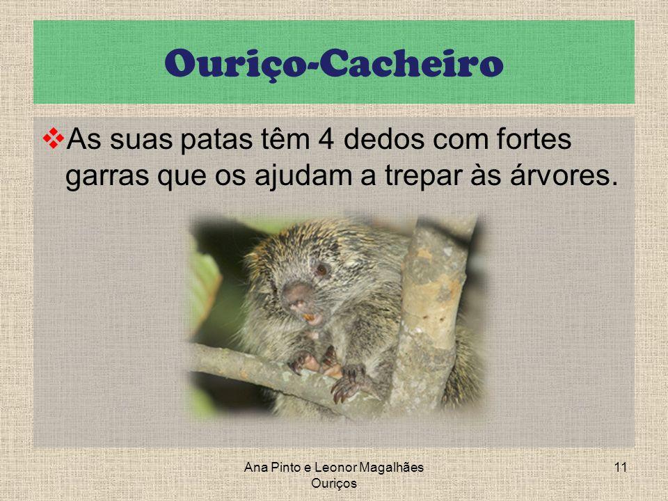 Ouriço-Cacheiro As suas patas têm 4 dedos com fortes garras que os ajudam a trepar às árvores. Ana Pinto e Leonor Magalhães Ouriços 11
