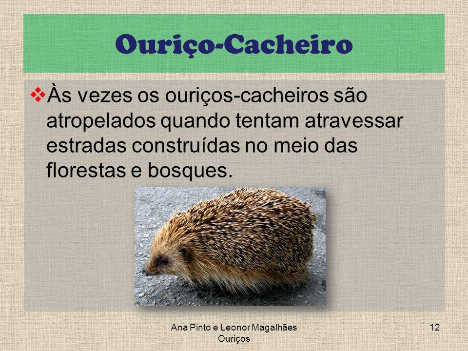 Ouriço-Cacheiro Às vezes os ouriços-cacheiros são atropelados quando tentam atravessar estradas construídas no meio das florestas e bosques. Ana Pinto