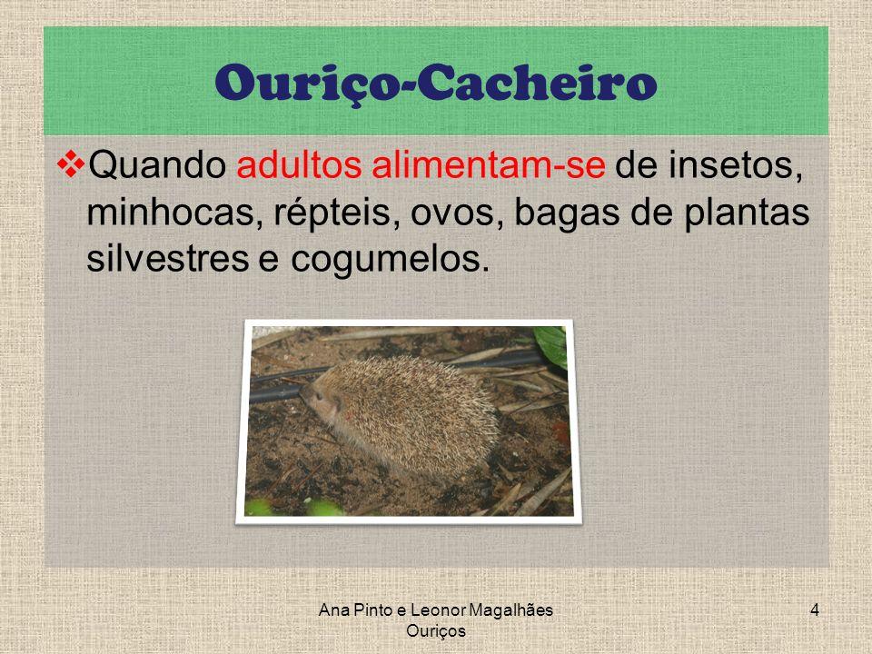 Ouriço-Cacheiro Quando adultos alimentam-se de insetos, minhocas, répteis, ovos, bagas de plantas silvestres e cogumelos. Ana Pinto e Leonor Magalhães