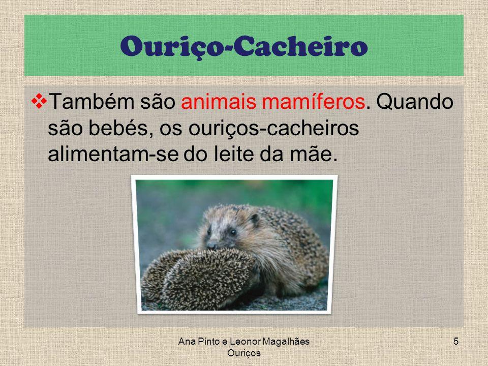 Ouriço-Cacheiro Também são animais mamíferos. Quando são bebés, os ouriços-cacheiros alimentam-se do leite da mãe. 5Ana Pinto e Leonor Magalhães Ouriç