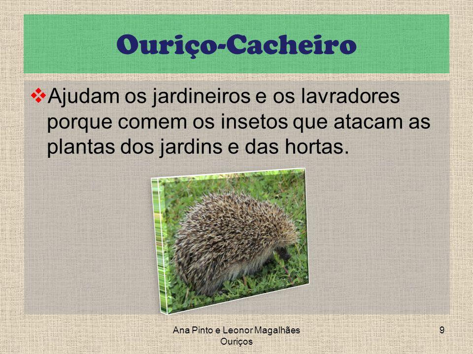 Ouriço-Cacheiro Ajudam os jardineiros e os lavradores porque comem os insetos que atacam as plantas dos jardins e das hortas. Ana Pinto e Leonor Magal