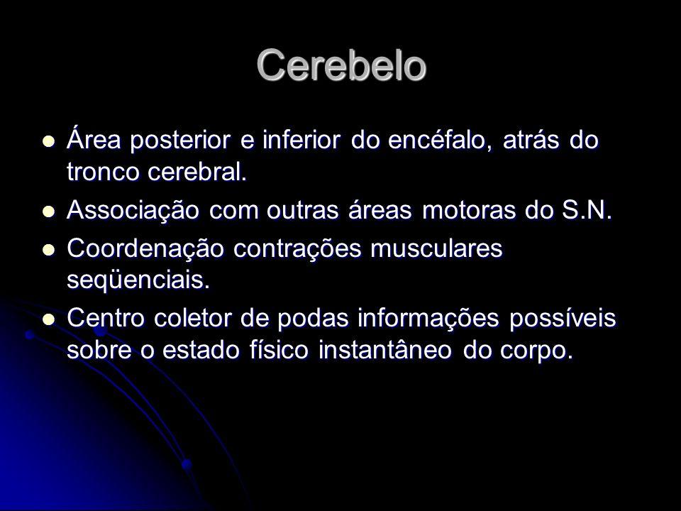 Cerebelo Área posterior e inferior do encéfalo, atrás do tronco cerebral. Área posterior e inferior do encéfalo, atrás do tronco cerebral. Associação
