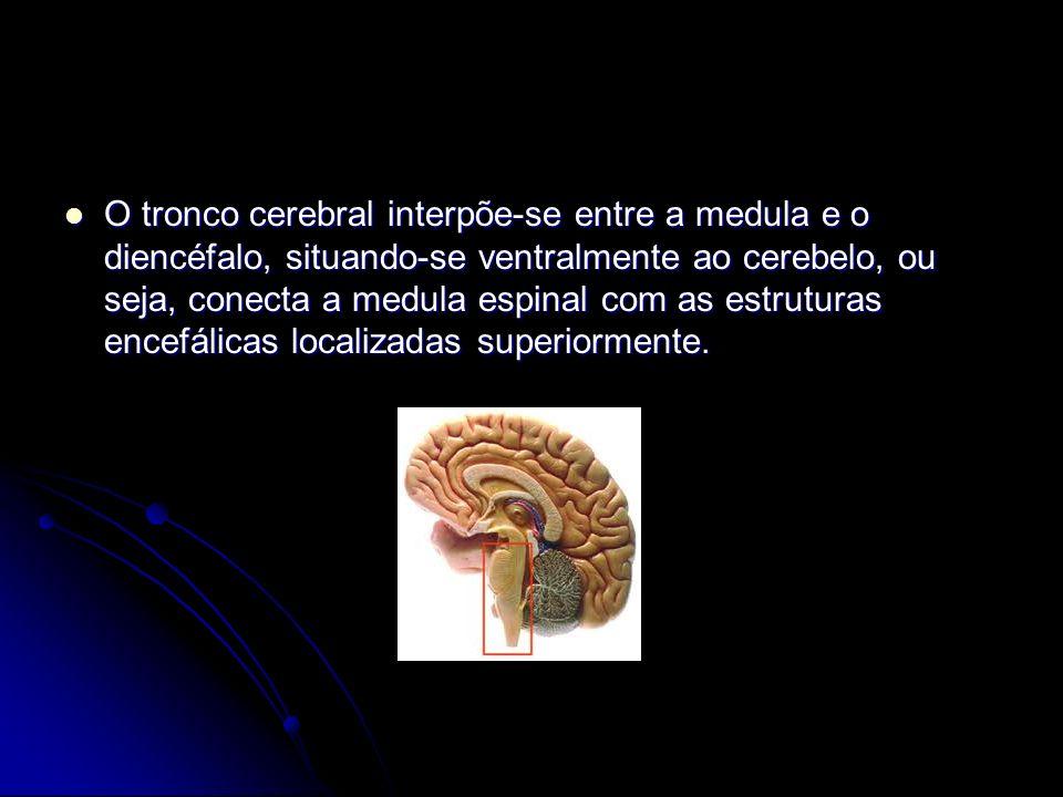 O tronco cerebral interpõe-se entre a medula e o diencéfalo, situando-se ventralmente ao cerebelo, ou seja, conecta a medula espinal com as estruturas