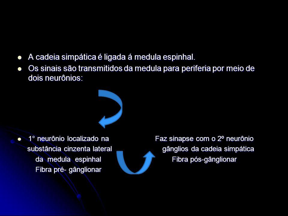 A cadeia simpática é ligada á medula espinhal. A cadeia simpática é ligada á medula espinhal. Os sinais são transmitidos da medula para periferia por