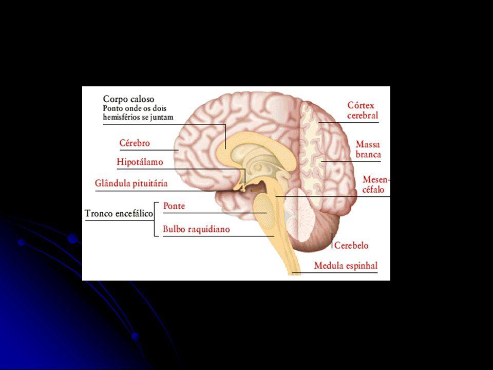 Córtex Atividade proposital da atividade motora Atividade proposital da atividade motora Capacidade funcional das mãos, dedos e partes distais do braço Capacidade funcional das mãos, dedos e partes distais do braço Área motora localiza-se no lobo frontal Área motora localiza-se no lobo frontal Dividida 2 partes: Dividida 2 partes: Posterior: Córtex 1º – Controla músculos individuais ou grupos de músculos intimamente associados.