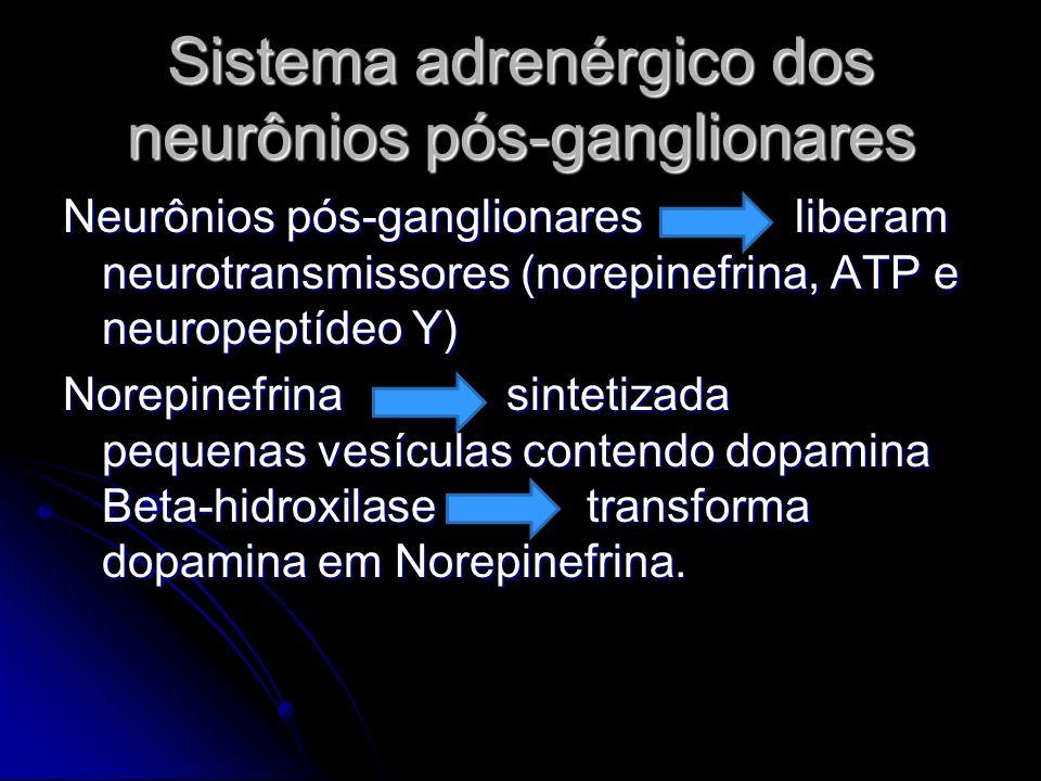 Sistema adrenérgico dos neurônios pós-ganglionares Neurônios pós-ganglionares liberam neurotransmissores (norepinefrina, ATP e neuropeptídeo Y) Norepi
