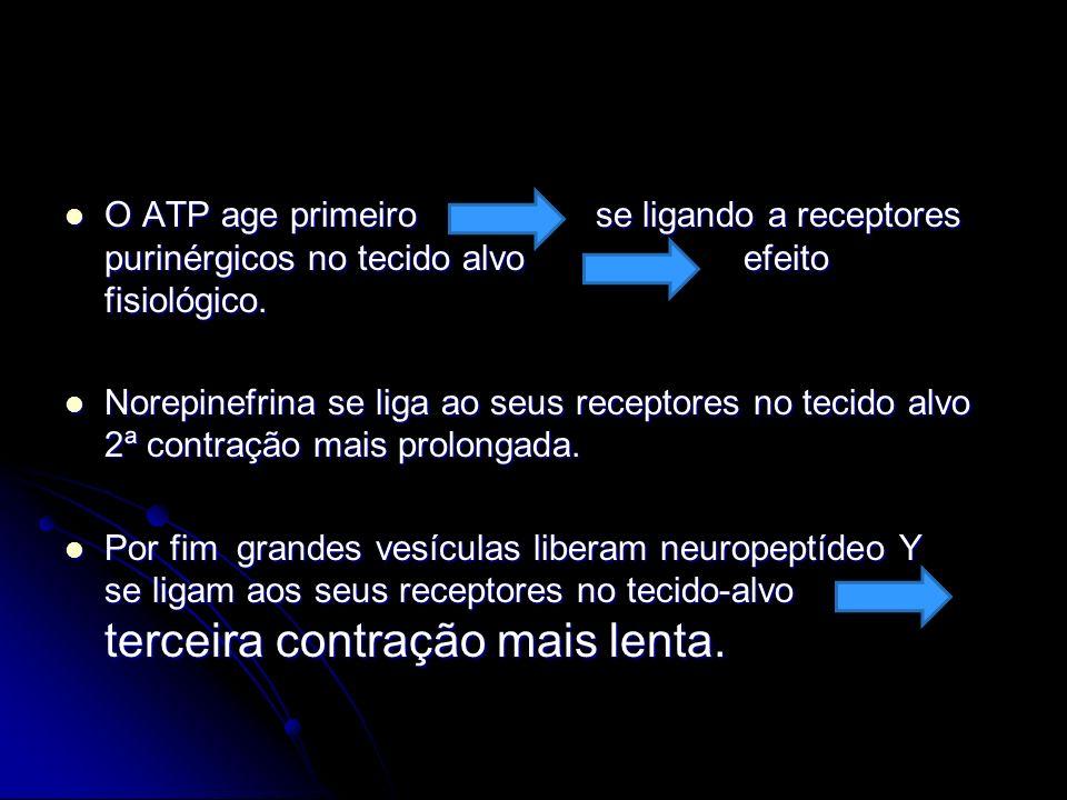O ATP age primeiro se ligando a receptores purinérgicos no tecido alvo efeito fisiológico. O ATP age primeiro se ligando a receptores purinérgicos no