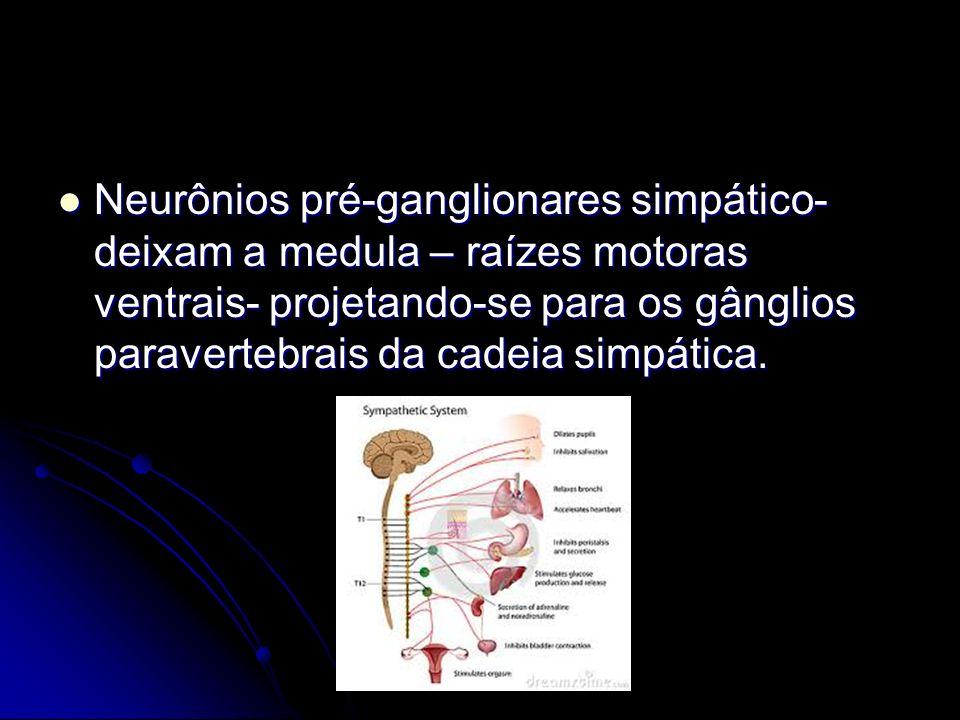 Neurônios pré-ganglionares simpático- deixam a medula – raízes motoras ventrais- projetando-se para os gânglios paravertebrais da cadeia simpática. Ne