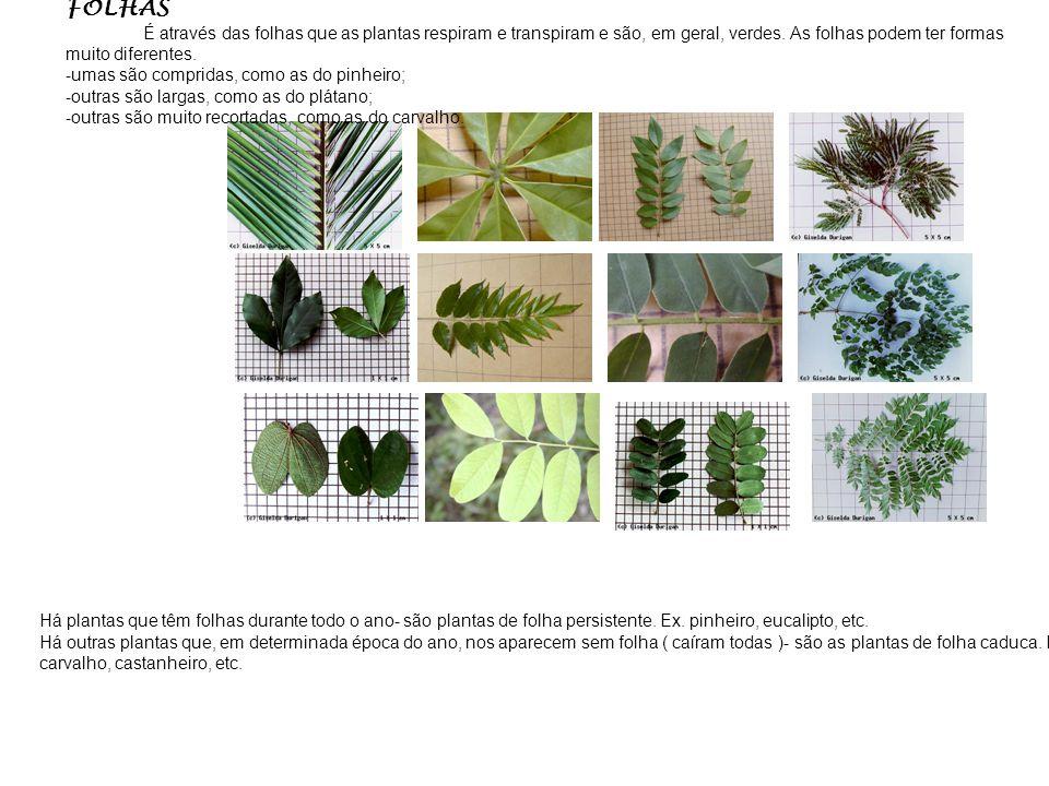 CAULE O caule é a parte da planta que se segue à raiz, cresce em sentido contrário ao dela, eleva-se, em geral, na atmosfera. O caule sustenta as folh