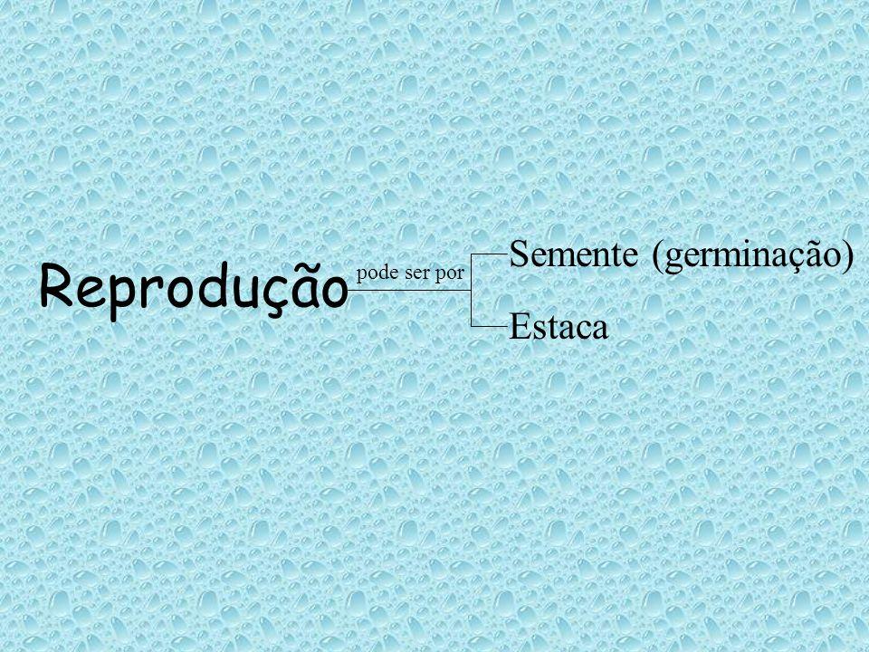 Reprodução pode ser por Semente (germinação) Estaca