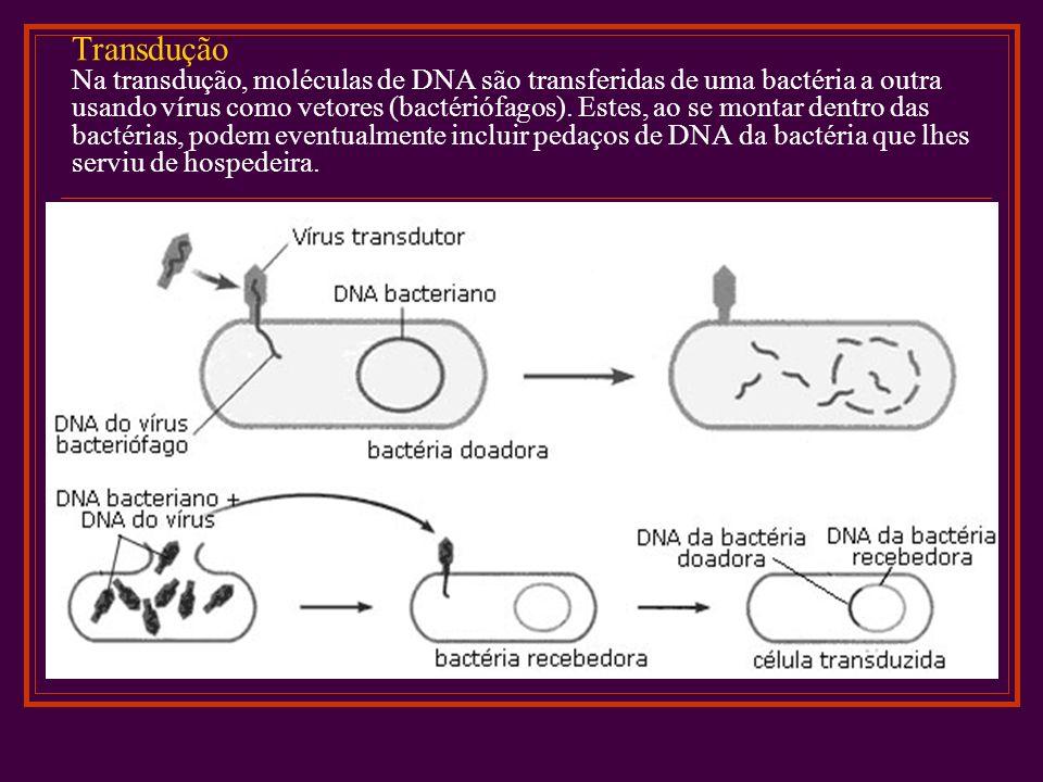 Transdução Na transdução, moléculas de DNA são transferidas de uma bactéria a outra usando vírus como vetores (bactériófagos). Estes, ao se montar den